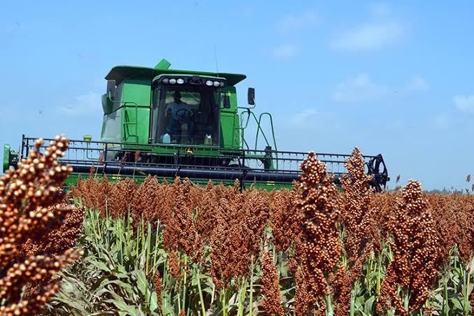Inicia trilla de sorgo en medio de incertidumbre por falta de apoyos al agro