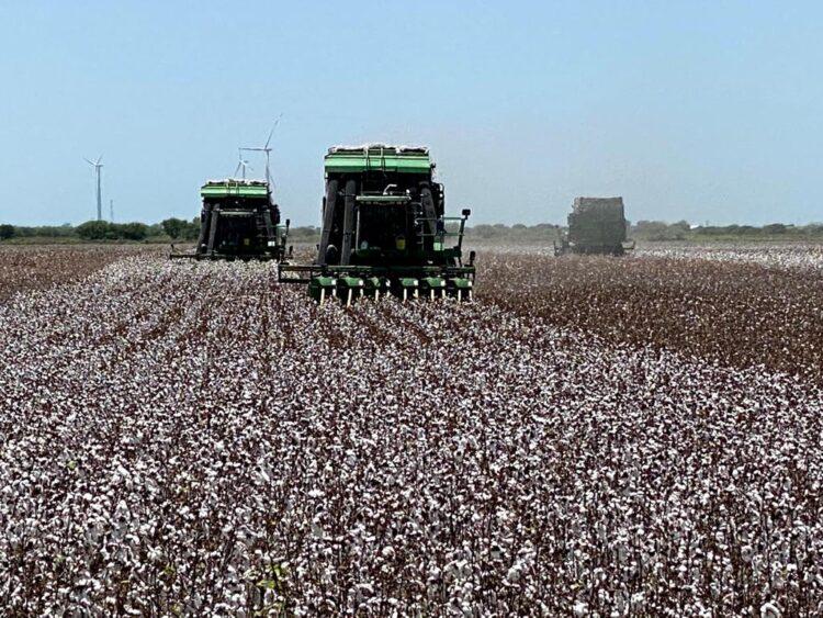 Prevén cosechar 42 mil pacas de algodón en norte de Tamaulipas